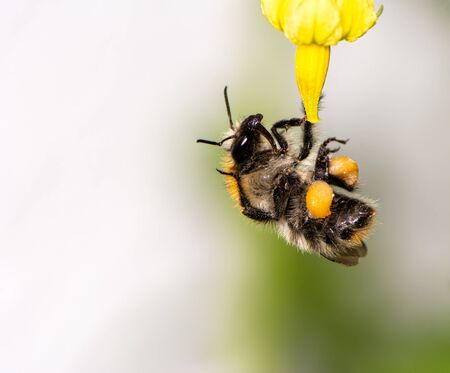 Macro of a bumblebee (Bombus pascuorum) on a flower blossom