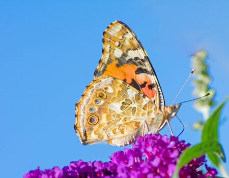 Painted Lady butterfly on the blossoms of a buddleia bush Archivio Fotografico - 131917434