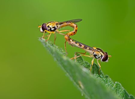 Insect love - Hoverfly couple mating on a green leaf Stockfoto