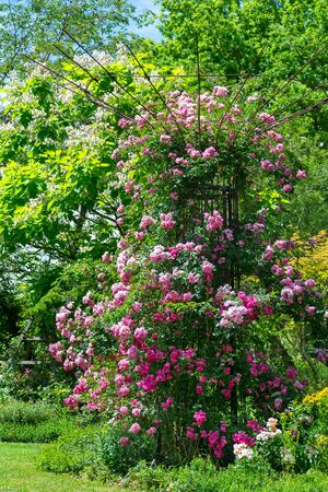 Idyllic rose garden with pink flowering rambler roses Reklamní fotografie