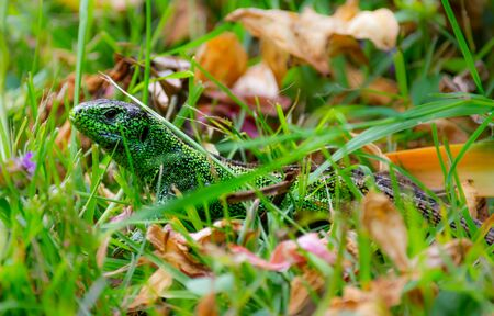 Green sand lizard (Lacerta agilis) hiding in the grass Фото со стока