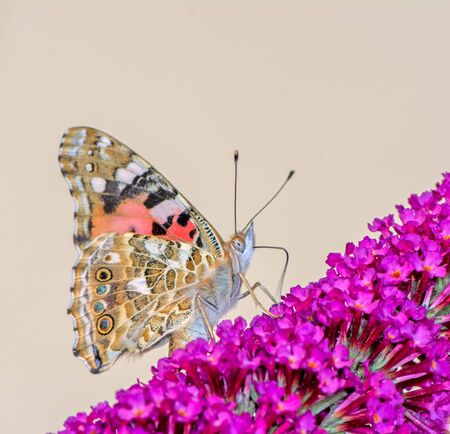 Painted Lady butterfly on the blossoms of a buddleia bush Archivio Fotografico - 131258846