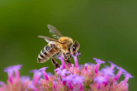 Macro of a bee pollinating on a flower blossom