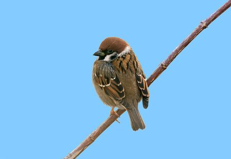 Closeup of an Eurasian tree sparrow (passer montanus)  sitting on a twig Banco de Imagens