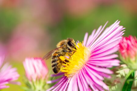 Honeybee collecting nectar on a pink aster flower.