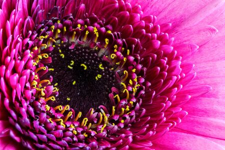 Abstract macro of a pink gerbera flower blossom