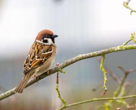 Closeup of a sparrow bird sitting on the brach of a tree