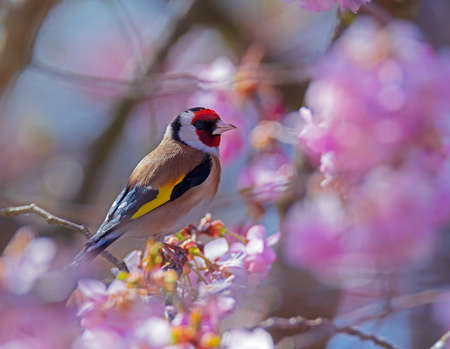 European goldfinch (Carduelis carduelis) sitting on the branch of a flowering cherry tree
