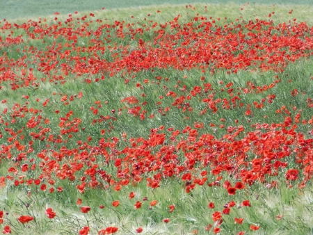 rote: Mohnfeld - Papaver field Stock Photo