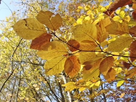 gelb: Autumn Leafs - Herbstbl�tter