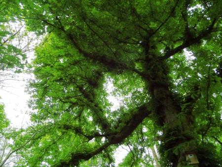 chestnut tree: Dark chestnut tree Stock Photo