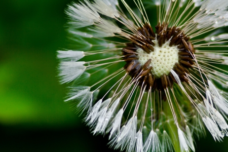 swelled: dandelion fuzz swelled drops  Stock Photo