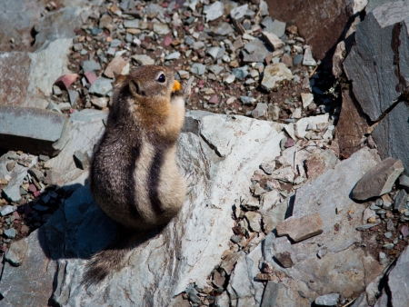 Golden-mantled ground squirrel poses on a rock beside Glacier National Park Road-To-The-Sun road