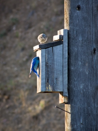 Two Mountain blue birds perched on a brid house, Montana  photo