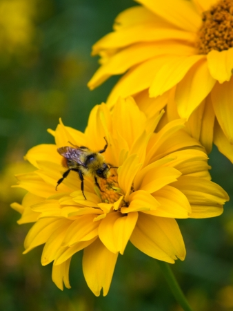 Bee on the yellow flower  photo