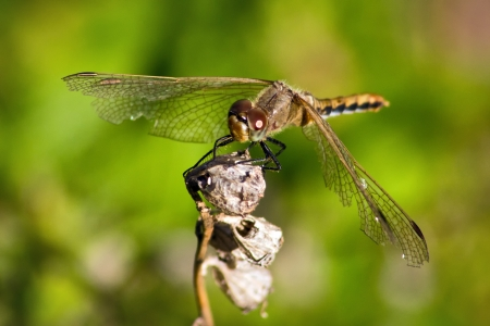 vulgatum: A dragonfly at rest Sympetrum vulgatum