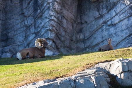 bighorn sheep:  Bighorn Sheep  Stock Photo