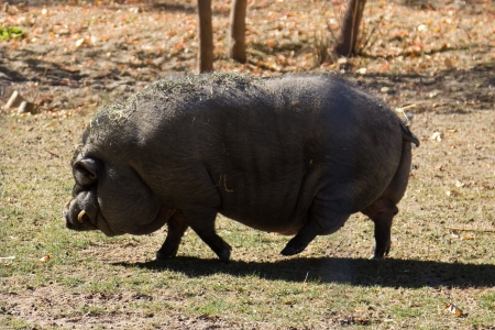 Pot-bellied pig photo