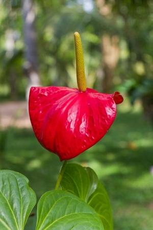 cerca de una hermosa Arum rojo Foto de archivo - 19137089