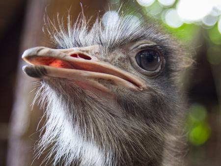 head close up: Emu head close up