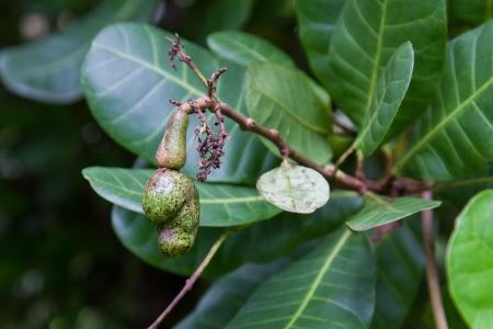 cashew tree: Raw cashew on a tree