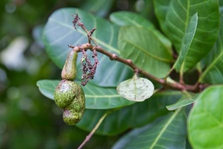 cashew tree: green cashew fruit