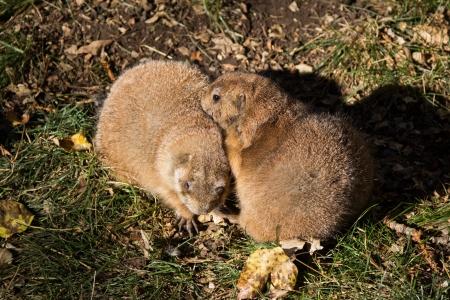 Black-tailed prairie dog in love