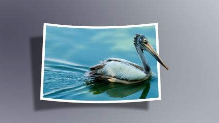 Out Of Bounds  Pelican photo