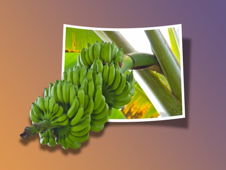 ripening: Out Of Bounds  Banana Tree