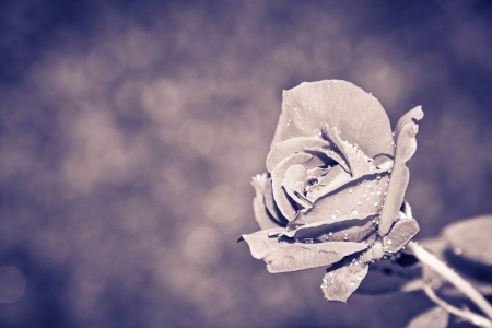 Grunge Rose Background photo