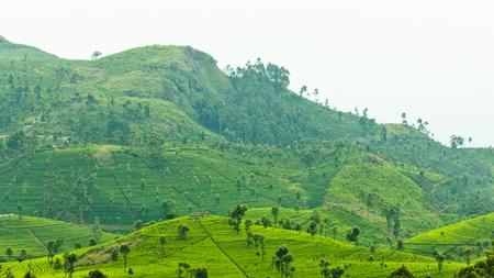 green tea plantation landscape  photo