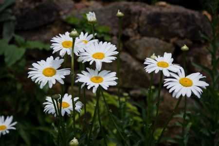 white daisies  photo