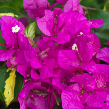 Colorful Bougainvilleas photo