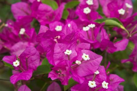 bougainvilleas: Colorful Bougainvilleas