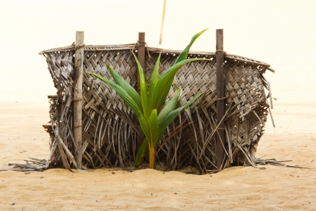 Young coconut plants on the beach photo