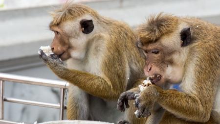 toque: Toque macaque  Macaca sinica