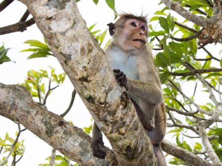 Toque macaque  Macaca sinica
