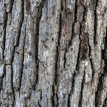 Oak bark photo