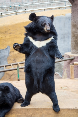 Formosan black bear Stock Photo
