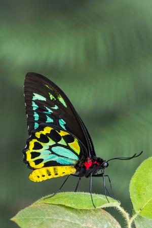 cairns: Male Cairns Birdwing Butterfly
