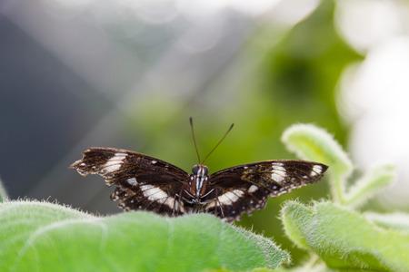 cairns: Female Cairns Birdwing Butterfly