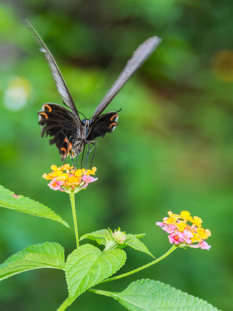 Large beautiful butterfly on a flower photo