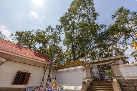 maha: Jaya Sri Maha Bodhi is a Sacred Fig tree in Anuradhapura, Sri Lanka. It is the southern branch of the historical Bodhi tree Sri Maha Bodhi at Bodh Gaya in India