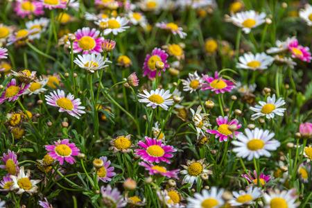 ox eye: Small flowers in a garden