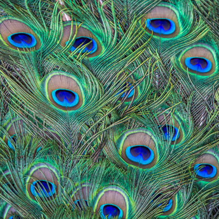 Colorful Background of Peacock Feathers Stock Photo