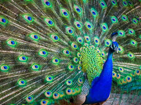 peacock eye: A beautiful male peacock with expanded feathers