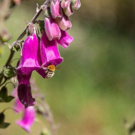 stamen wasp: A bumblebee one a flower Stock Photo