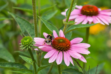 pink daisy: A bumble bee on pink daisy flower