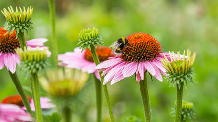 spring green: A bumble bee on pink daisy flower
