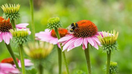 animales silvestres: Un abejorro en la flor rosada de la margarita